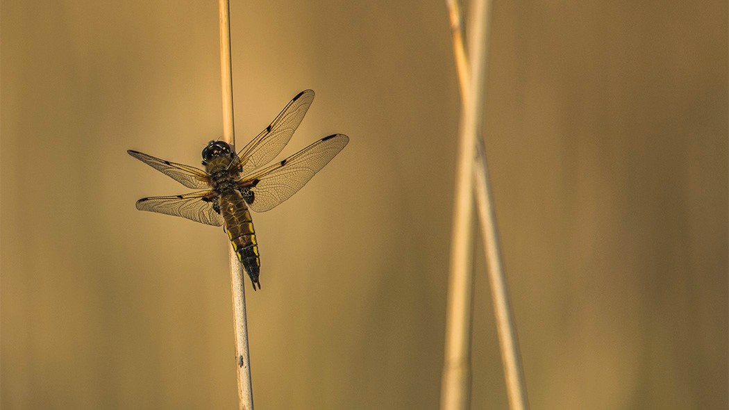 A four-spotted chaser resting on a blade of grass with its wings spread,