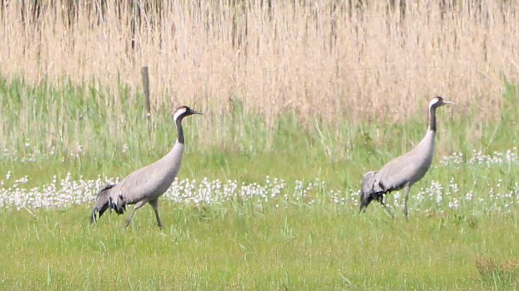 Two common cranes strutting on the marsh.