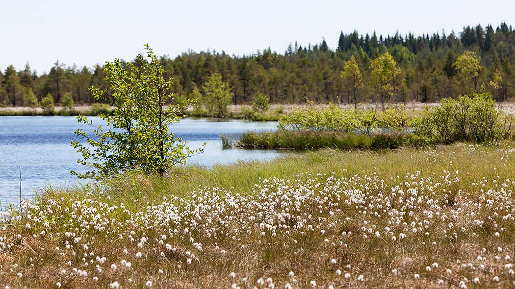 Cotton grass growing on the shore of a pond with a forest in the background.
