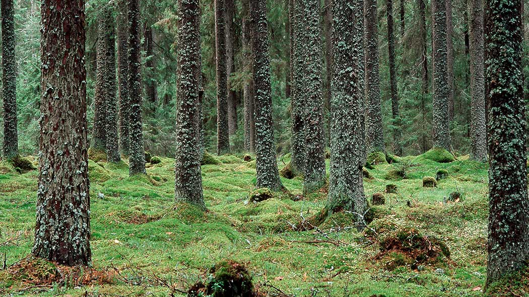 Old forest. Photo: Olli Siltanen