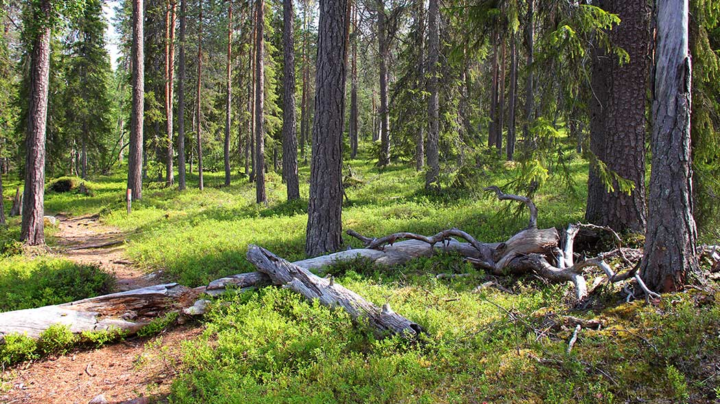 The old forest at Vaattunkivaara hill. Image: Juha Paso