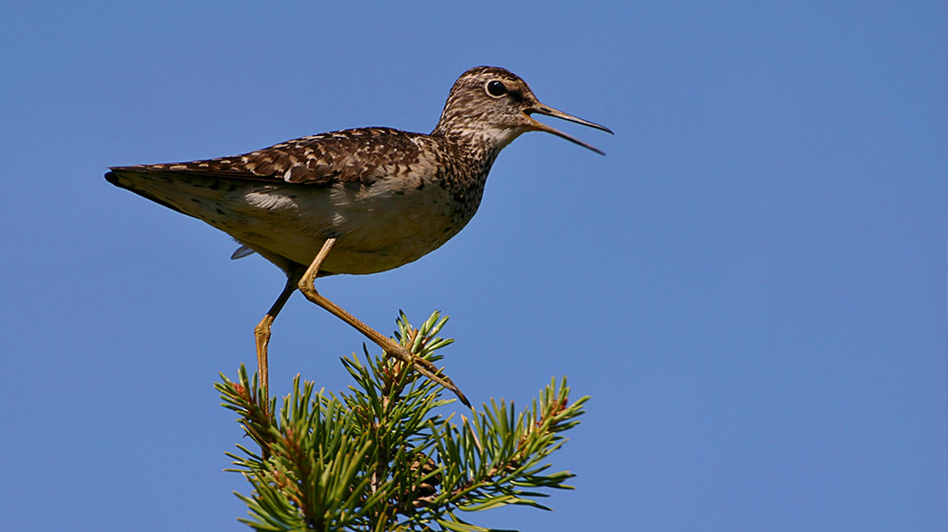 Wood Sandpiper on top of a pine. Image: Juha Paso