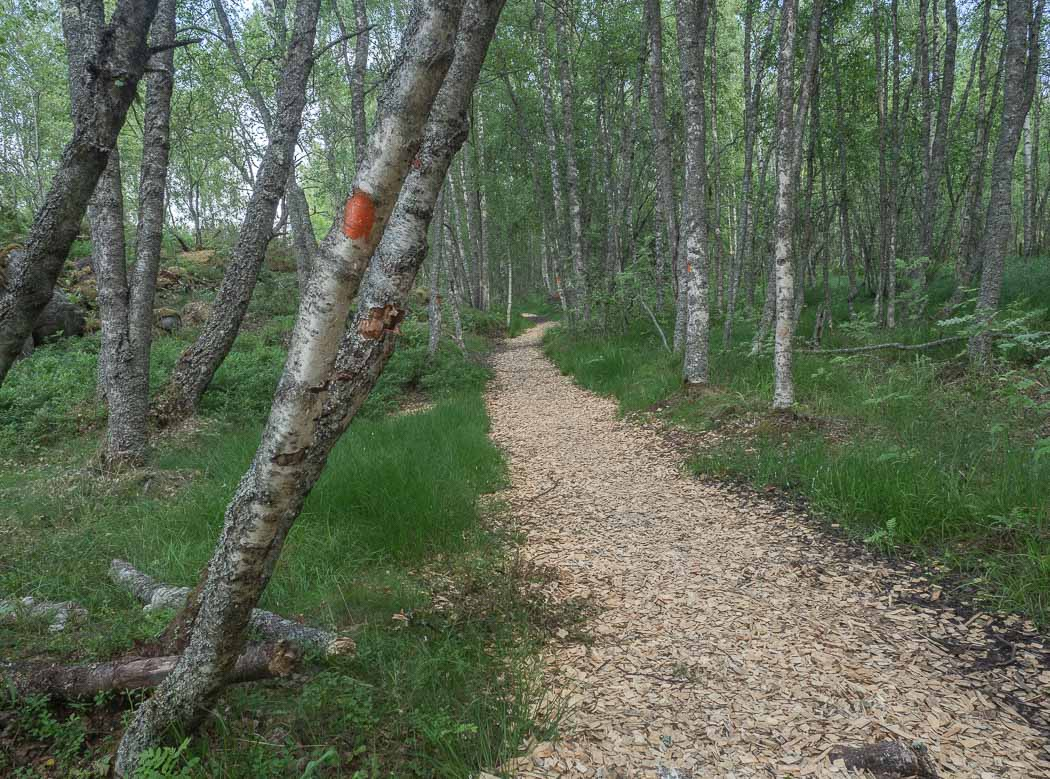 A path leading through a deciduous forest. There is a birch tree with a red circle painted on the trunk in the foreground.