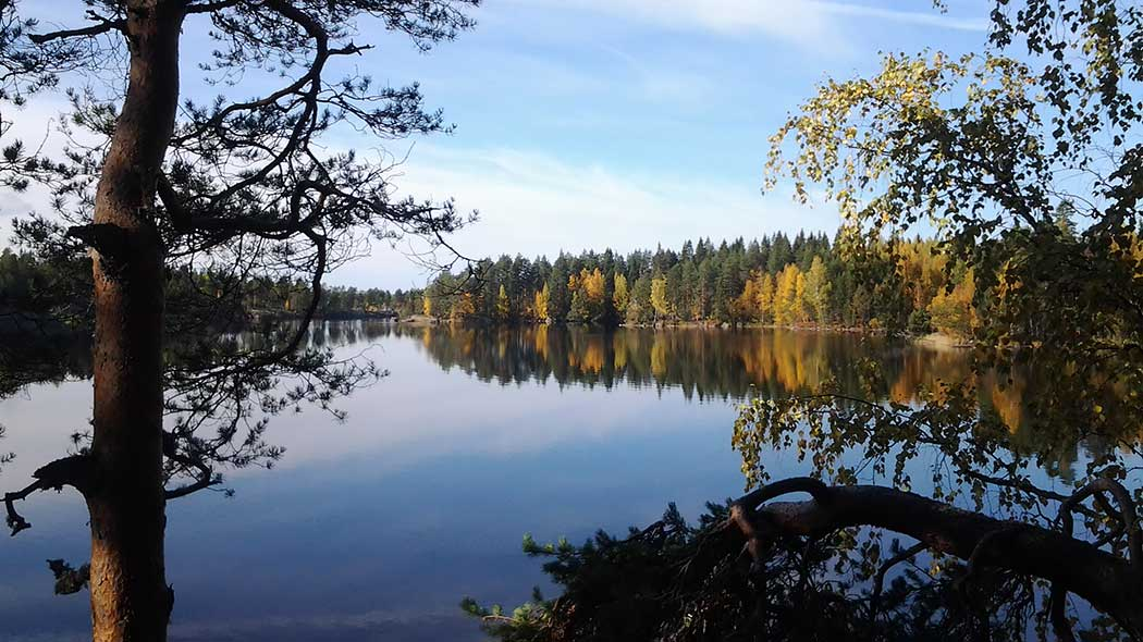 Autumn bay. Birches in autumn colours, calm water and in the foreground, there are pines.