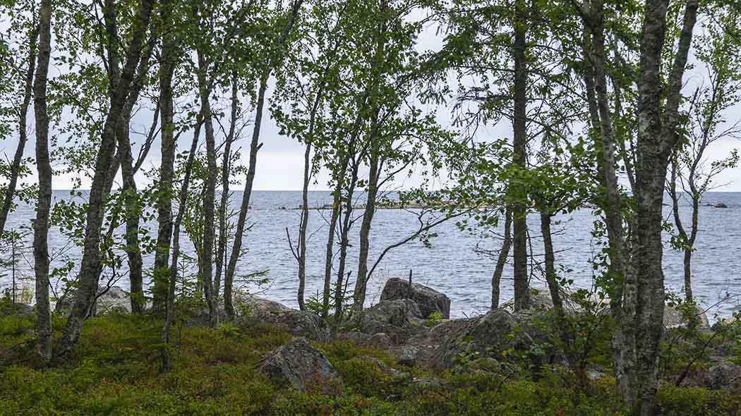 Birch trees are growing at the shore, a sea landscape opens up in the background.