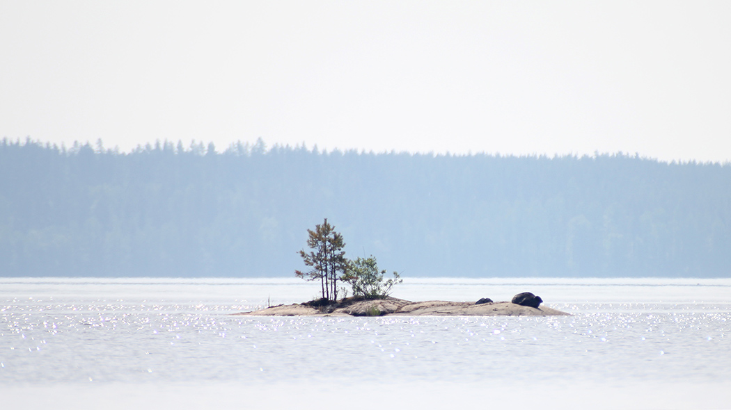 A lake landscape where a Saimaa ringed seal can be seen lying on a small rocky island.