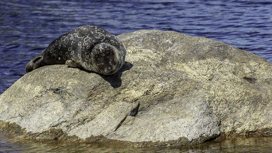 A Saimaa ringed seal lying on a rock in the sun with its eyes closed. A lake can be seen in the background.