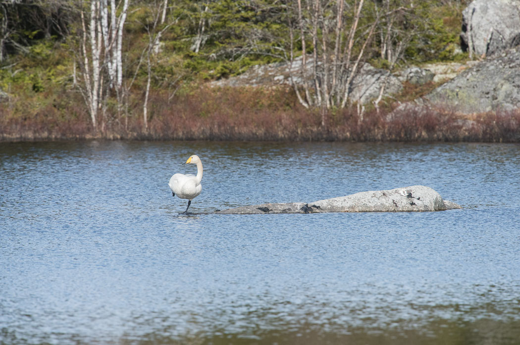 A swan standing on a stone in the middle of a pond.