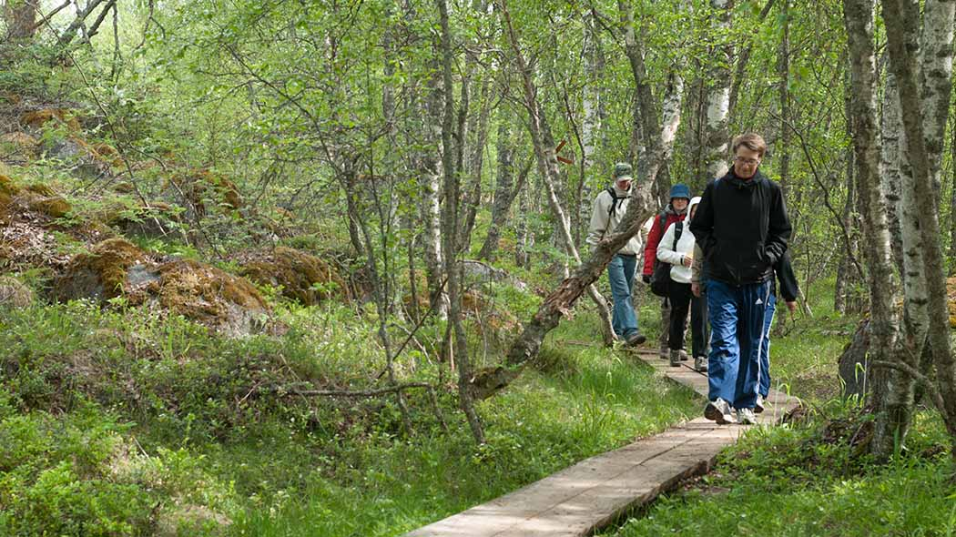 Hikers on duckboards in the coniferous forest.