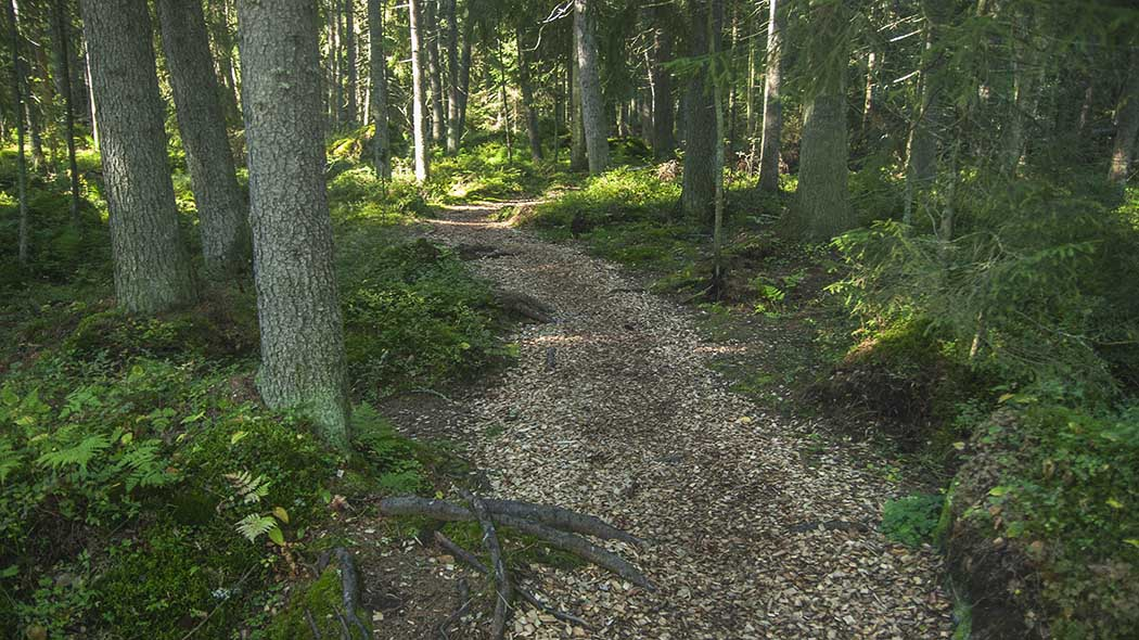 A path leading through a dense coniferous forest.