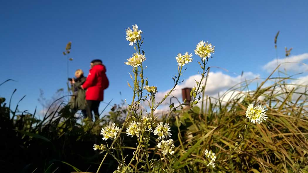 Two hikers in Vallisaari, with hoary alyssum in the forefront.