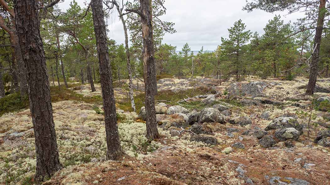Rocky terrain covered with gray lichen cover and sparsely growing conifers.