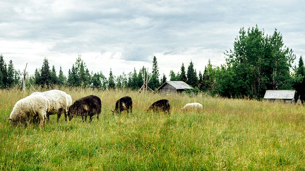 Sheep grazing in the Rytivaara crown tenant farm.