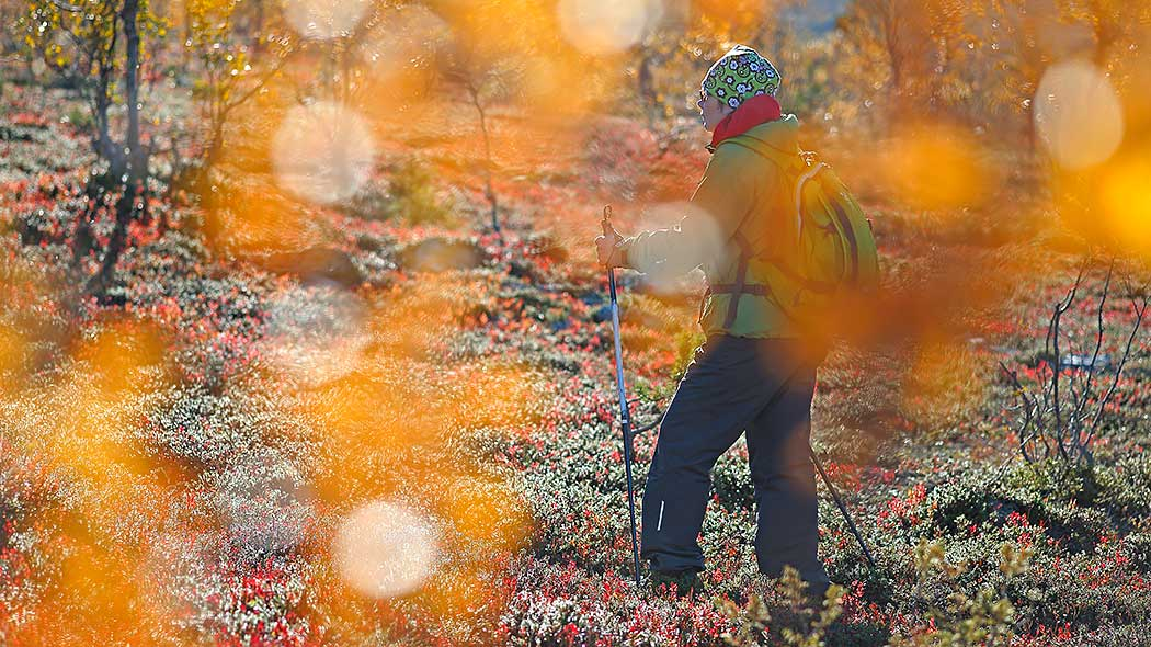 A woman is hiking in Lapland and terrain is covered with autums colours.