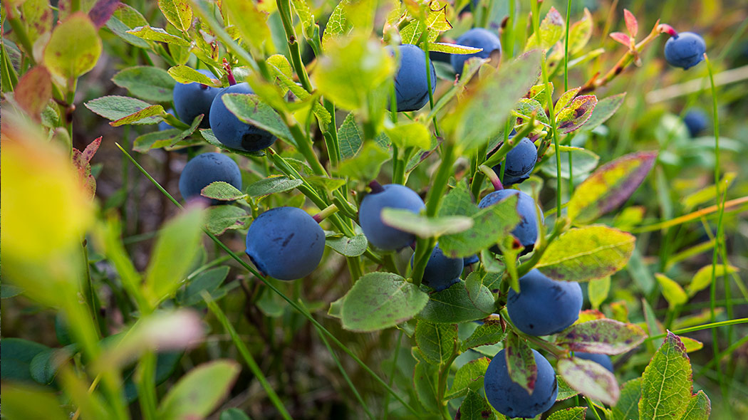 A close-up photo of bilberry shrubs with berries (Vaccinium myrtillus).