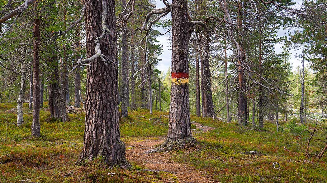 The trail circling between old pines, of which one has yellow and red painted markings showing the trail.