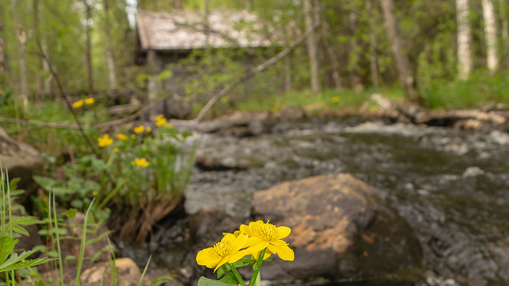 A kingcup grows wide in front of a stream, with a mill in the background.