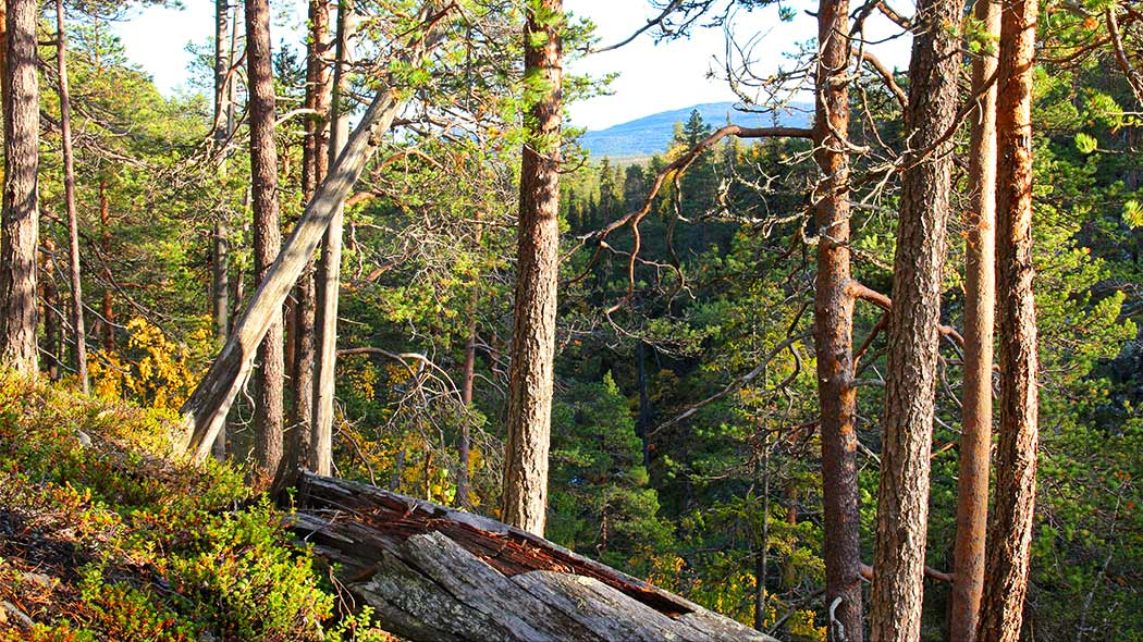 A pine forest with a view over the treetops to a fell.