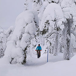 A cyclist biking a winter path, one of the trees with a heavy snow load has bent over the path forming a bridge.