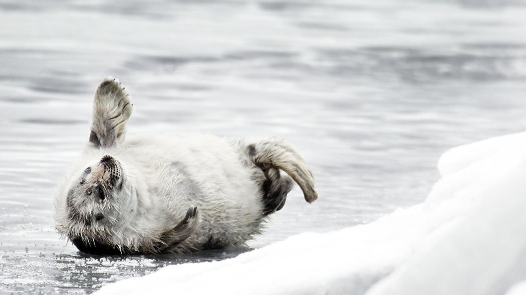 A seal pup lying on its back on the ice.